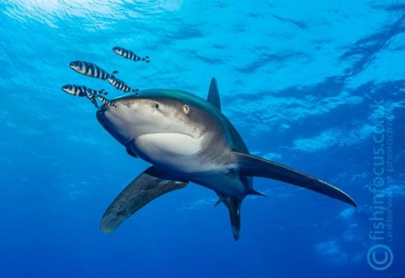 fishinfocus, Mario Vitalini, oceanic whitetips Red Sea, trips, workshops