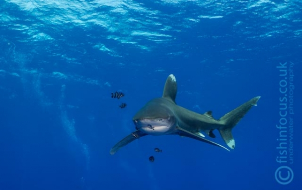 fishinfocus, Mario Vitalini, oceanic white tips Red Sea, trips, workshops