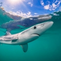 Cornwall blue shark, fishinfocus, Mario Vitalini, trips, workshops