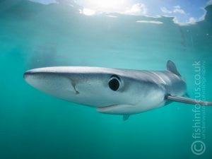 fishinfocus trips UK Blue Sharks Mario Vitalini